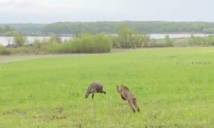 Footage Captures Bobcat Charging Turkey Decoy