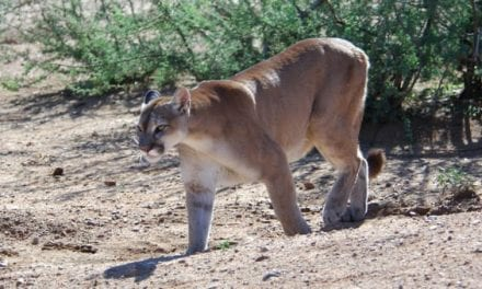 Morning Commuter Gets Footage of Cougar Taking Down Mule Deer