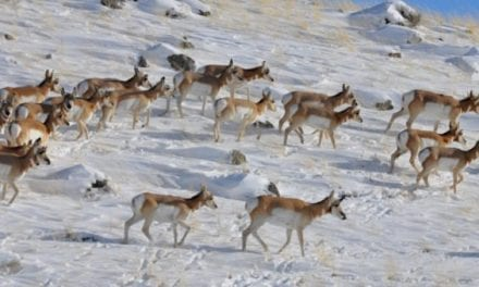 Oregon Man Charged After Poaching 6 Pronghorn Antelope With His Truck