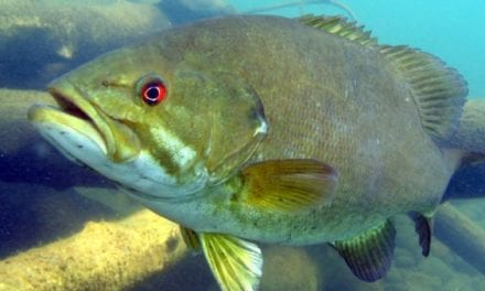 Smallmouth Bass: All About this Iconic Pound for Pound Fighter