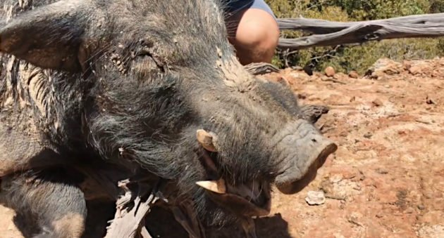 Feral Boar