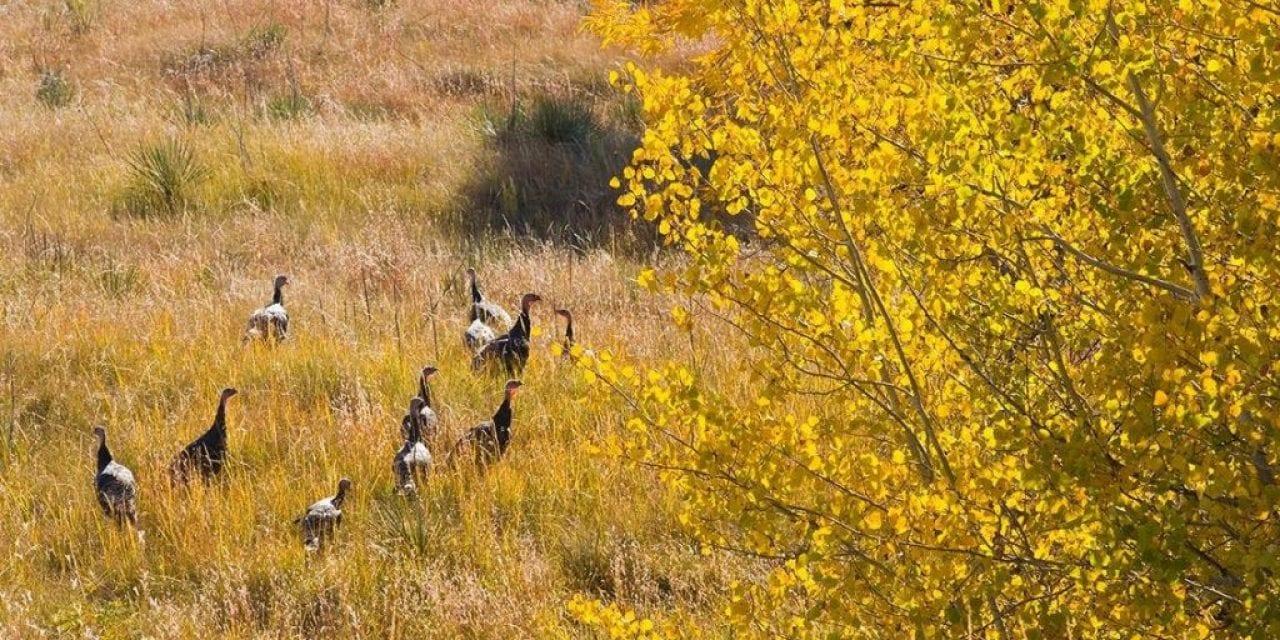Deer hunters, buy a fall turkey permit