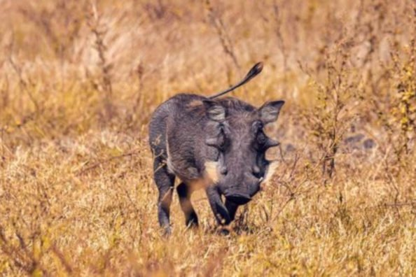 Warthogs in Texas