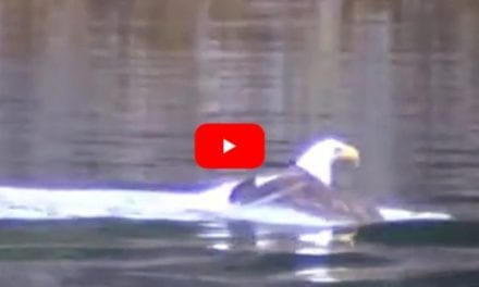 Bald Eagle Drags Big Fish Catch to the Shore by Swimming
