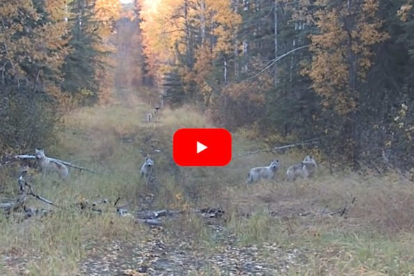 Elk Hunt Turns Into Unexpected Wolf Hunt After Pack Appears