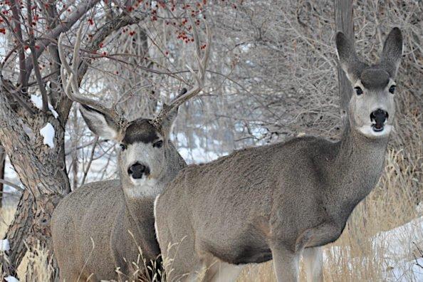 Hunt Pressured Mule Deer
