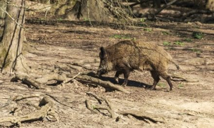 Rifle Calibers for Hog Hunting: Here Are 3 Top Choices