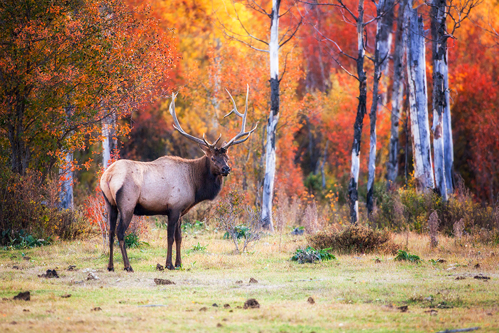 Bull elk at R Lazy S ranch.