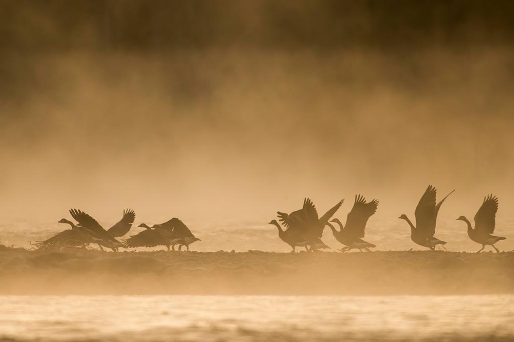 Photo of birds in sunrise fog on the Snake River in Wyoming.