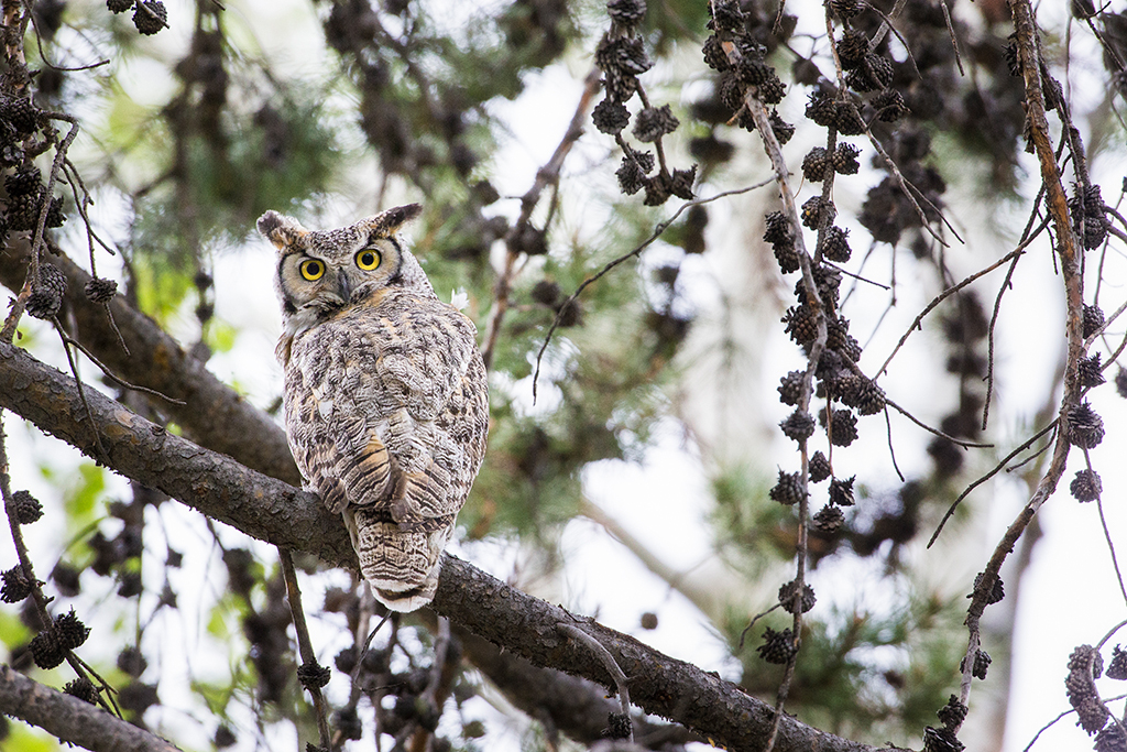 Image of horned owl at R Lazy S ranch.