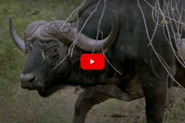 Cape Buffalo Short Film Captures Every Emotion Attached to Hunting
