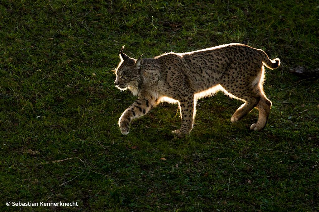 Image of an Iberian lynx.