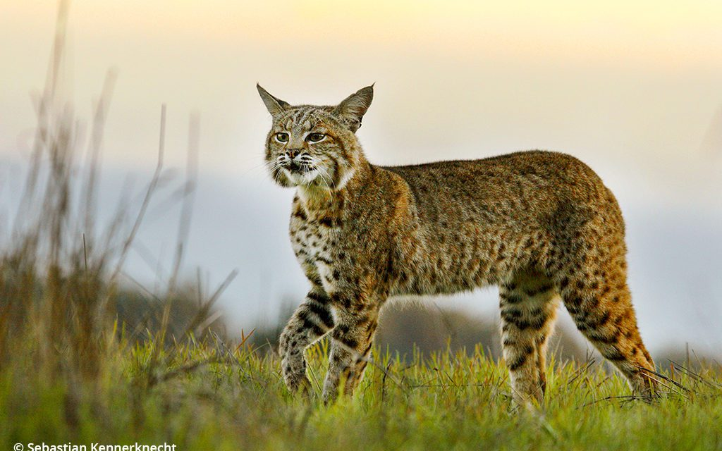 Chasing Wildcats
