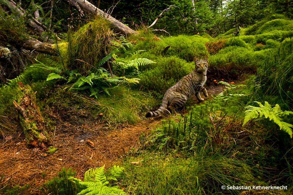 Photographing wildcats: image of a Scottish wildcat.