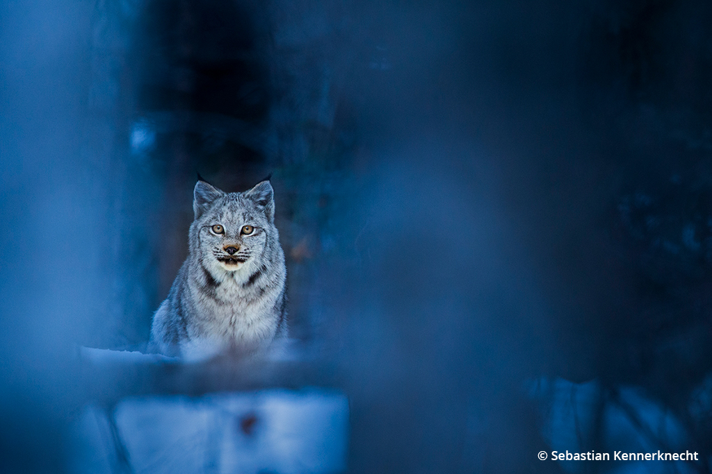 Image of a Canada lynx wildcat.