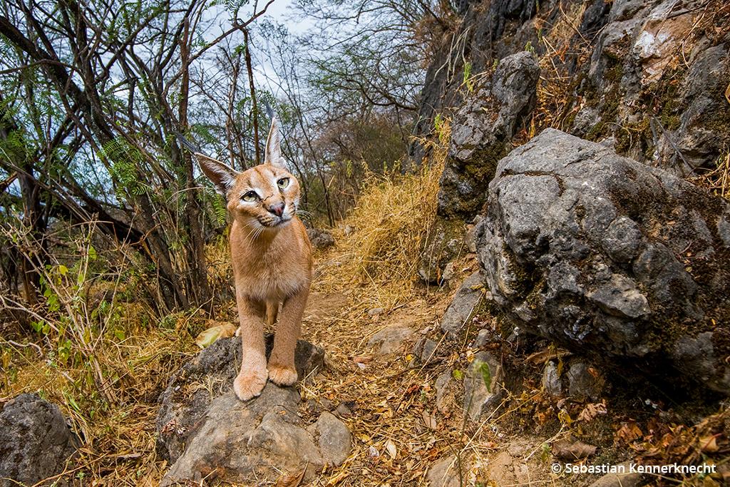 Image of an Arabian caracal wildcat.