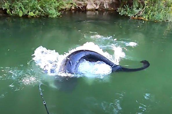 Wels Catfish Topwater