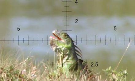 Iguana Hunting in Florida is Like Hunting Miniature Dinosaurs