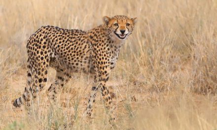 Last Frame: Cheesy Cheetah