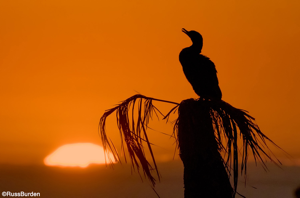 Cormorant and sun on the horizon line