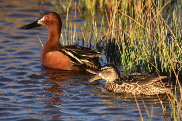 Cinnamon Teal: The Early Season Waterfowling Favorite