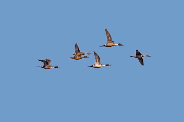 Northern Pintail: The Distinguishable Duck Species