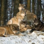 Idaho Hunters Can Make Up to $2,500 for Every Dead Wolf Through New Reimbursement Program