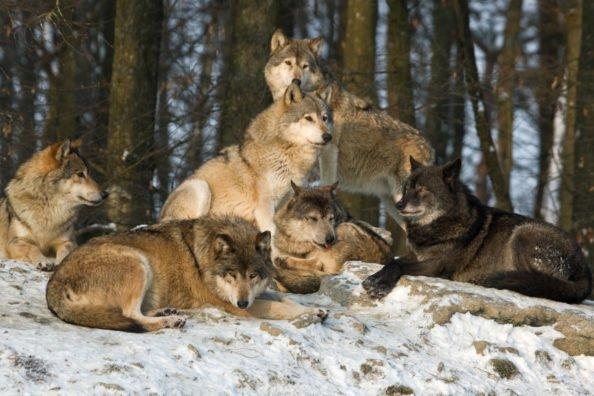 Wolf Reimbursement Program