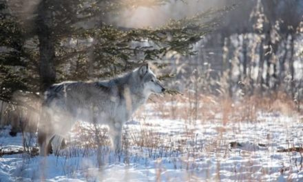 The 6 Best Wolf Hunting Guns