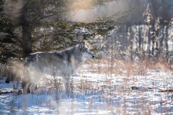 Wolf Hunting Guns